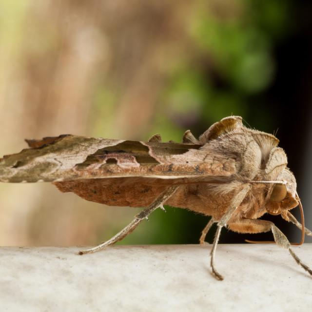 """Angle Shades Moth"" stock image"