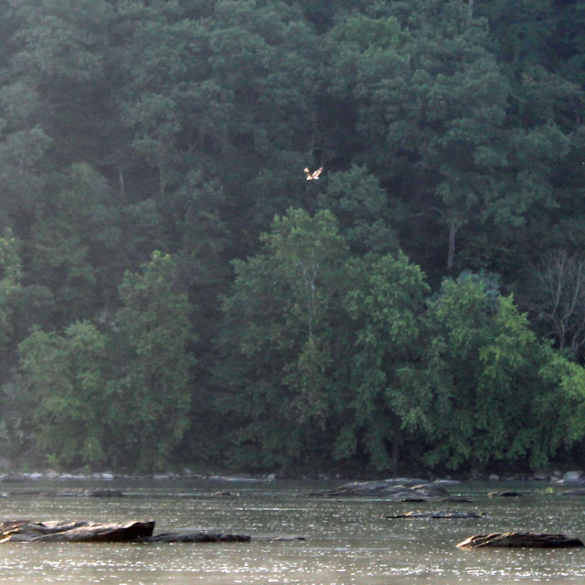 """Bald Eagle flying over the river"" stock image"