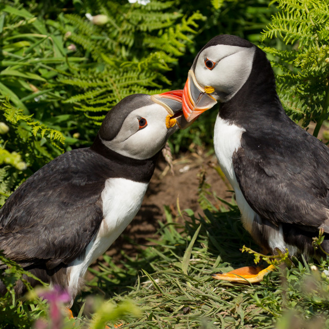 """Puffin Love!"" stock image"