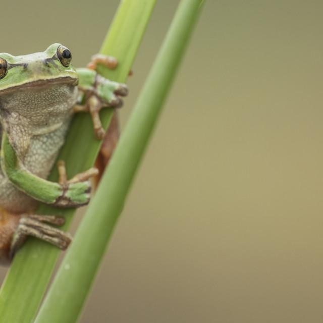 """European Tree Frog"" stock image"