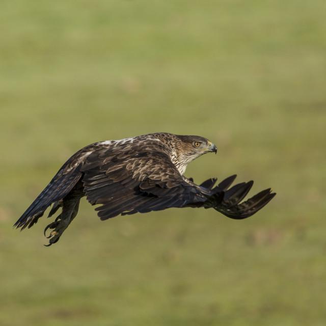 """Flying Bonelli's Eagle"" stock image"