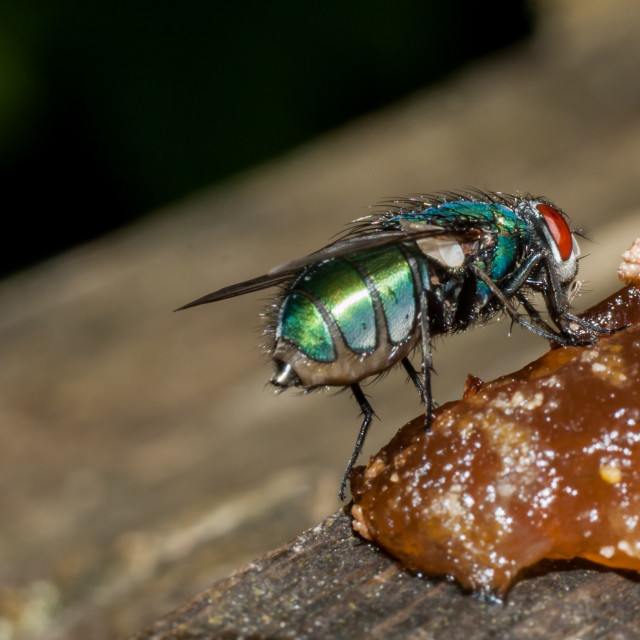"""""""Green Bottle Fly"""" stock image"""