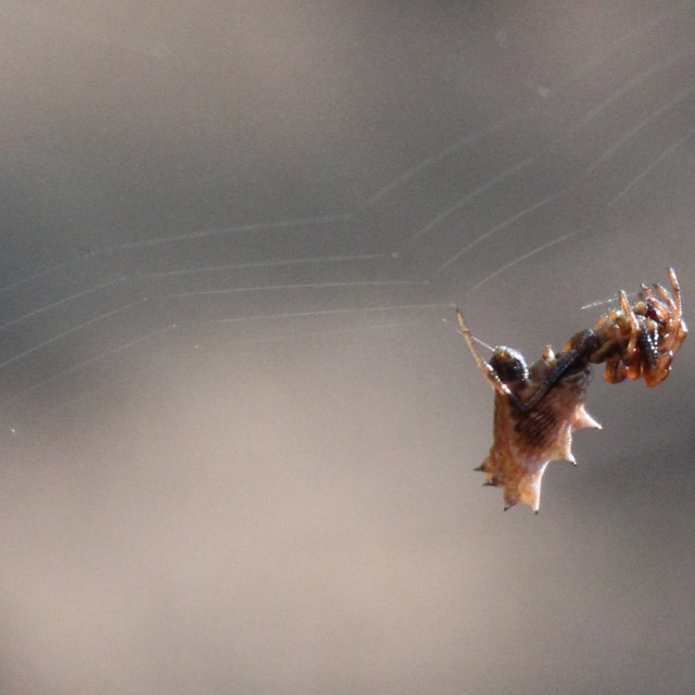 """""""brown spiked spider"""" stock image"""