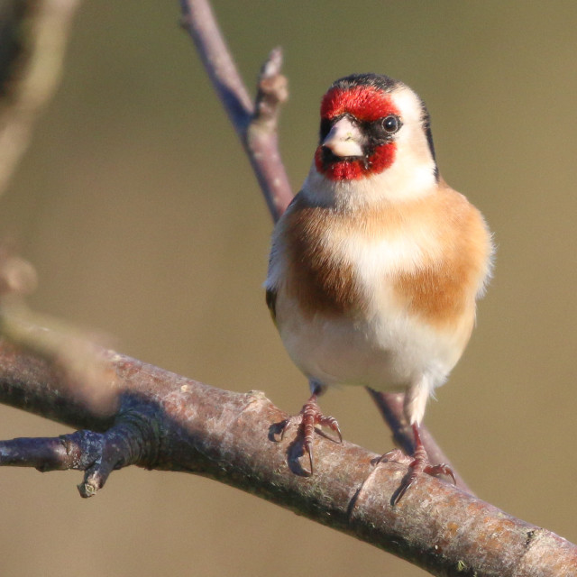 """""""Goldfinch"""" stock image"""