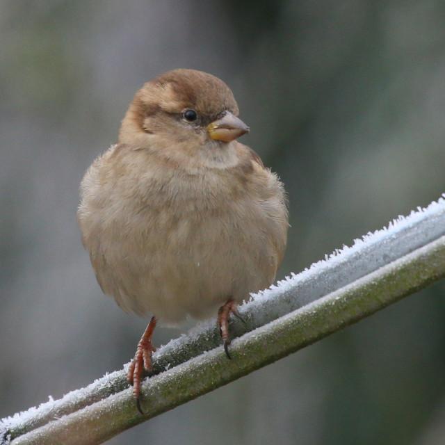 """Sparrow"" stock image"