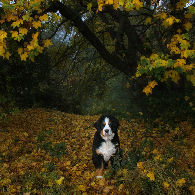 """""""Puppy in the autumn forest."""" stock image"""