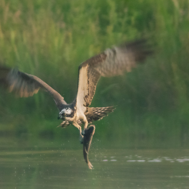 """Osprey in the mist"" stock image"