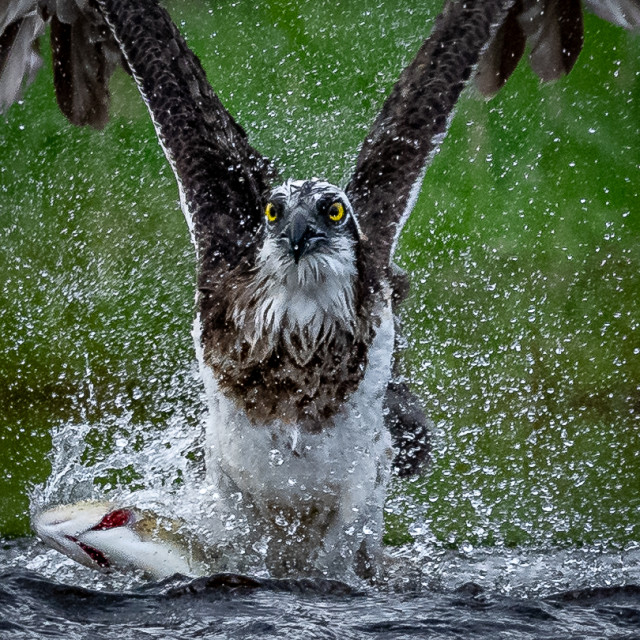 """Osprey fishing"" stock image"