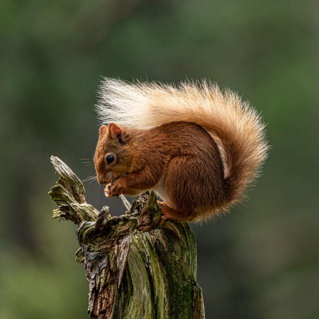 """Bushy Tail"" stock image"