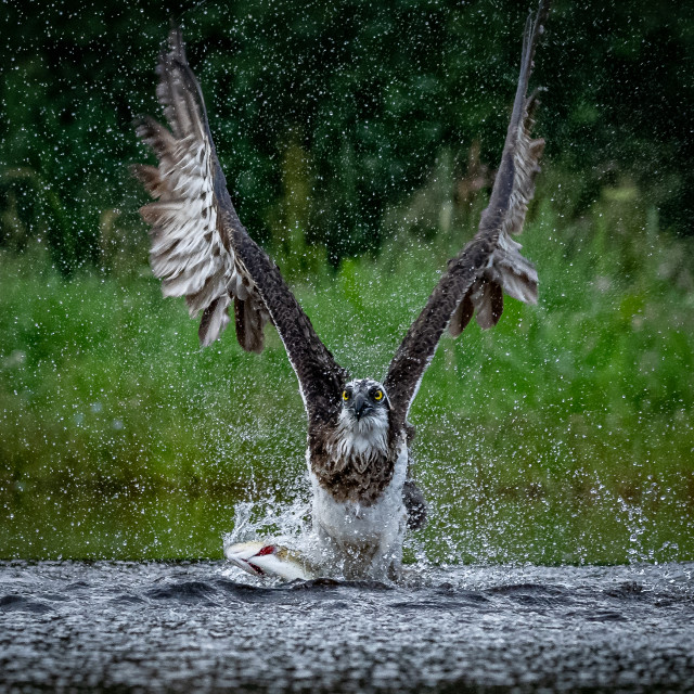 """Osprey ready for take off"" stock image"