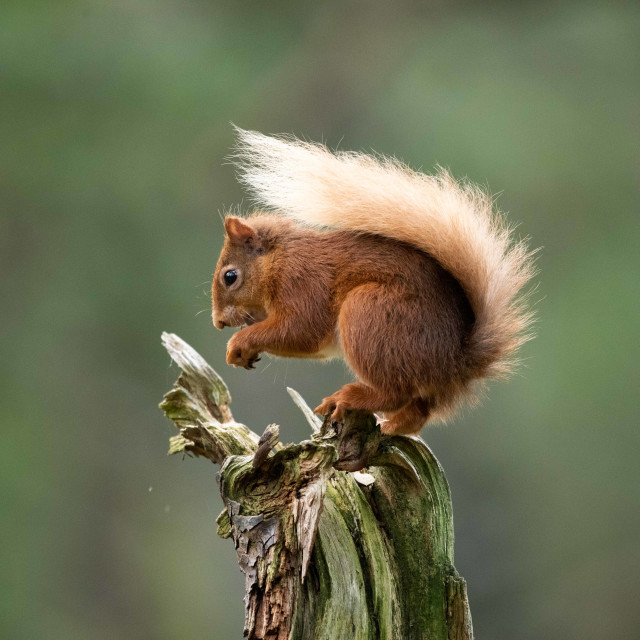 """""""Red Squirrel's breakfast"""" stock image"""