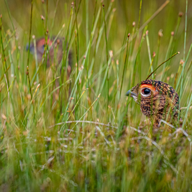 """Hiding grouse"" stock image"