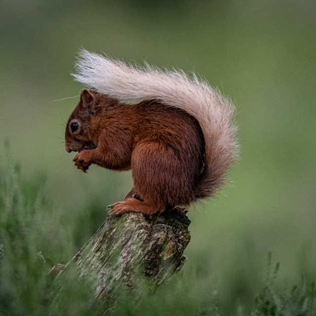 """Red squirrel posing"" stock image"