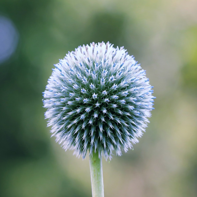 """Echinops is a plant rarely found in home gardens."" stock image"