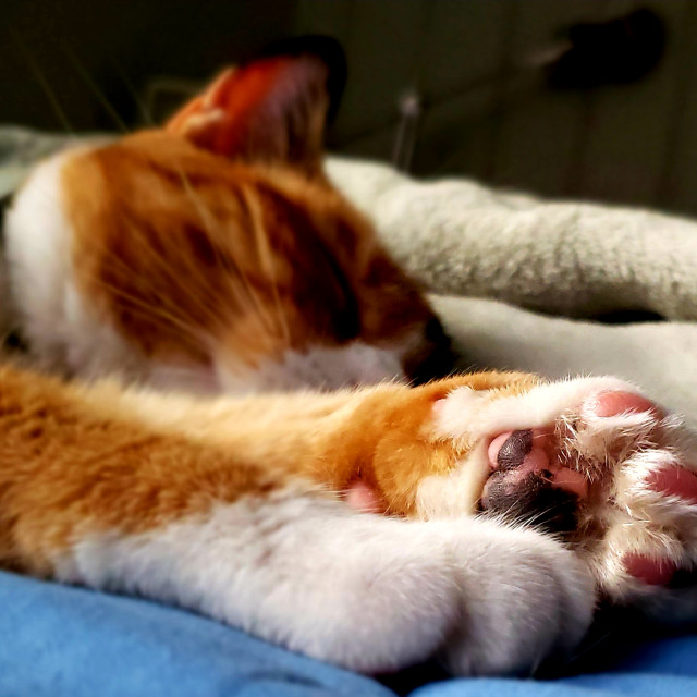 """""""A calico cat sleeping with paws in the foreground"""" stock image"""