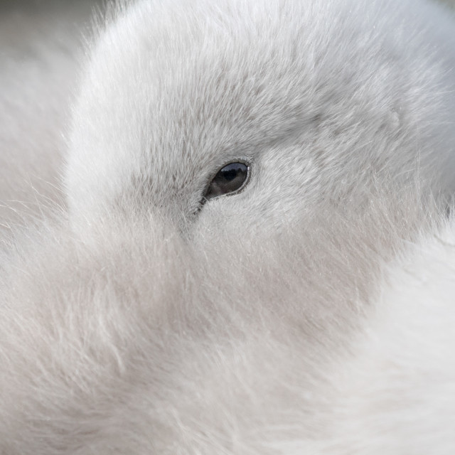 """Young Cygnet"" stock image"