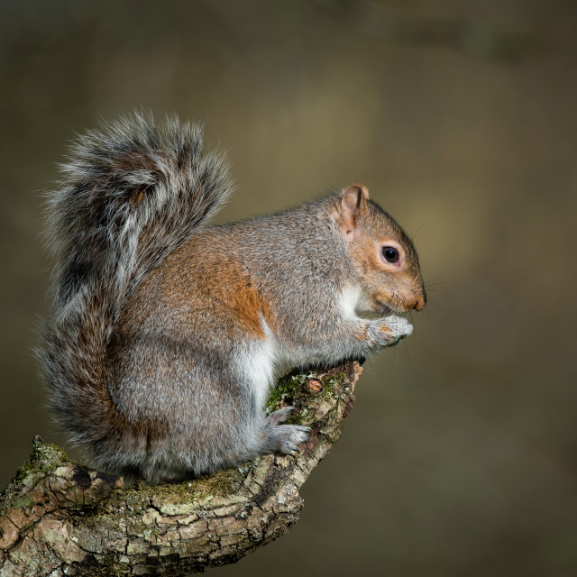 """Grey Squirrel."" stock image"