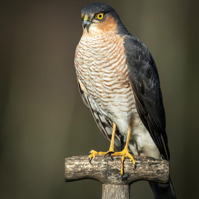 """Sparrowhawk."" stock image"