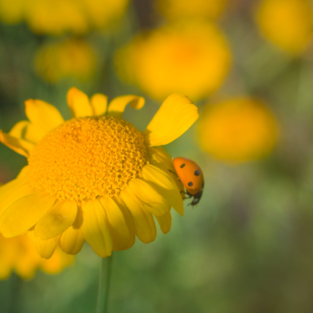 """""""Orange ladybug on orange flower"""" stock image"""