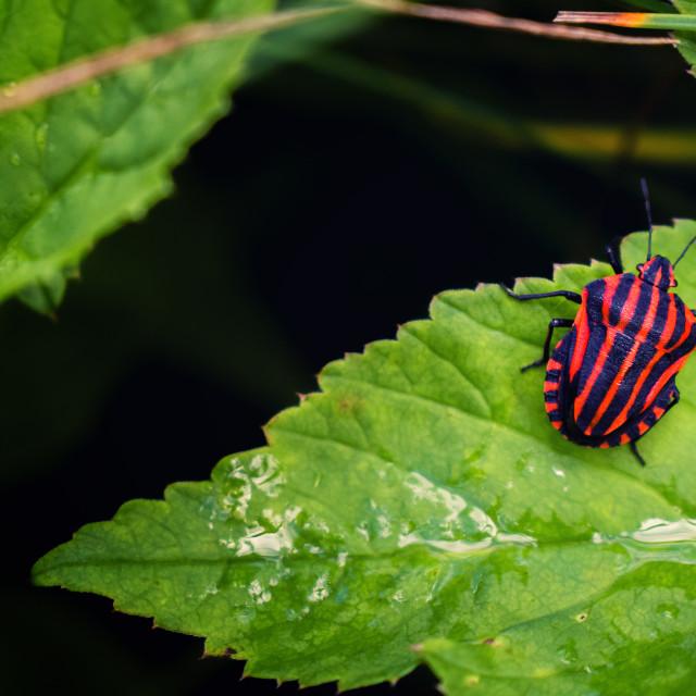 """Striped bug on green leaf"" stock image"
