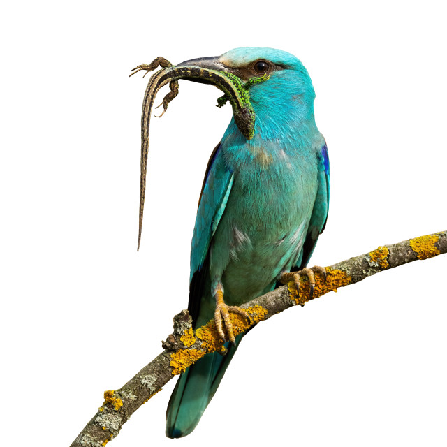"""Front view of european roller sitting on perch holding lizard isolated on white"" stock image"