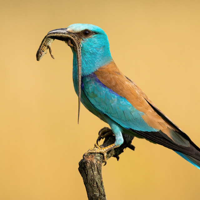 """Side view of european roller sitting on a perch holding lizard in the beak"" stock image"
