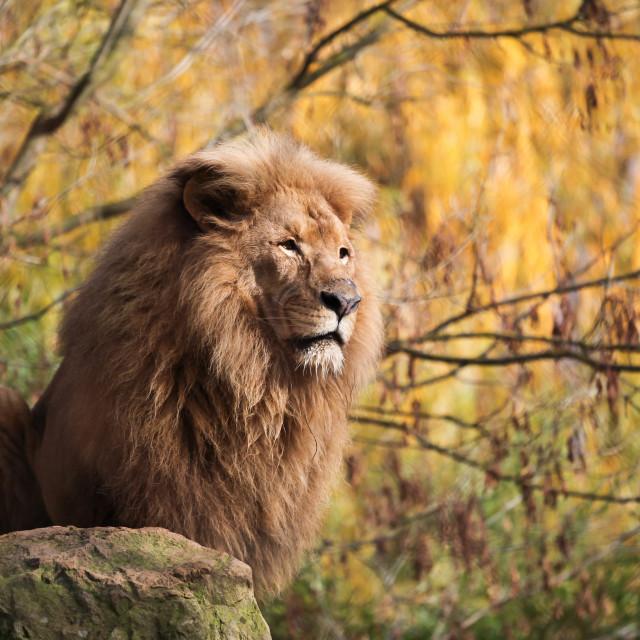 """""""Portrait of a lion"""" stock image"""