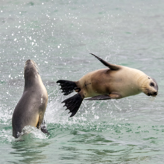 """Sea Lions At Play"" stock image"