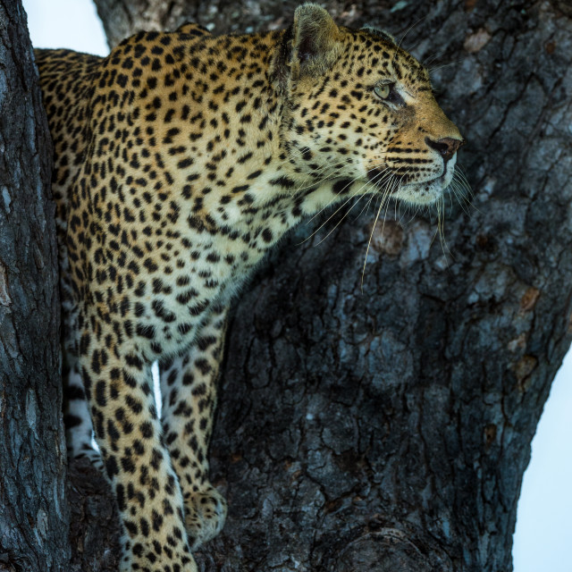 """Leopard hunting from the tree"" stock image"