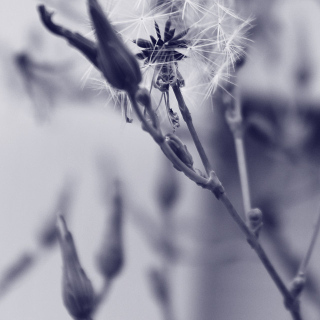 """milkweed fluff in blue"" stock image"