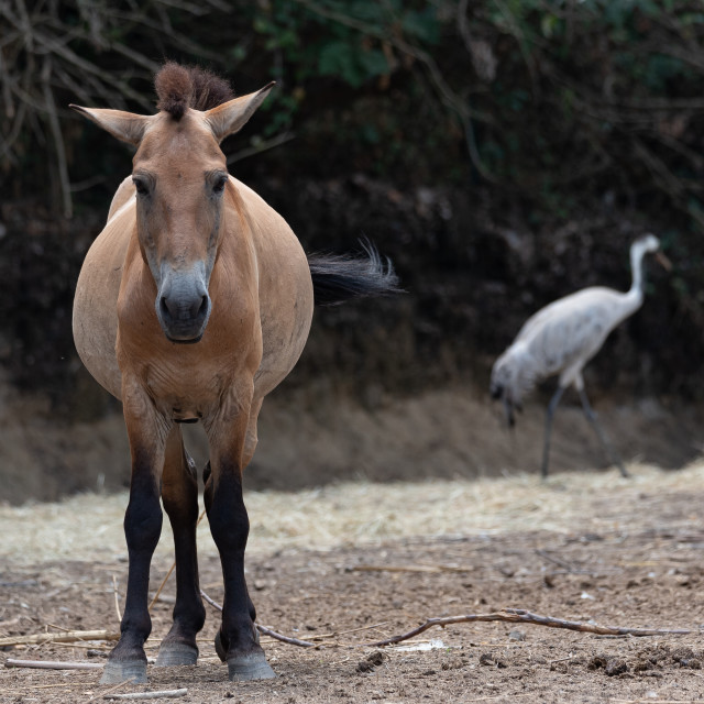 """Frontal portrait of wild horse"" stock image"