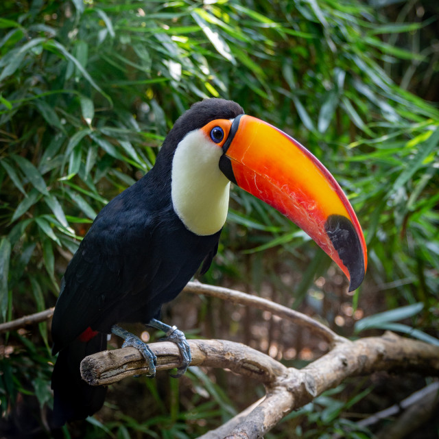 """""""A toucan laid on a tree branch in the forest"""" stock image"""