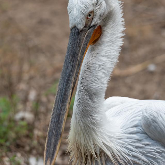 """Close-up portrait of a pelican"" stock image"