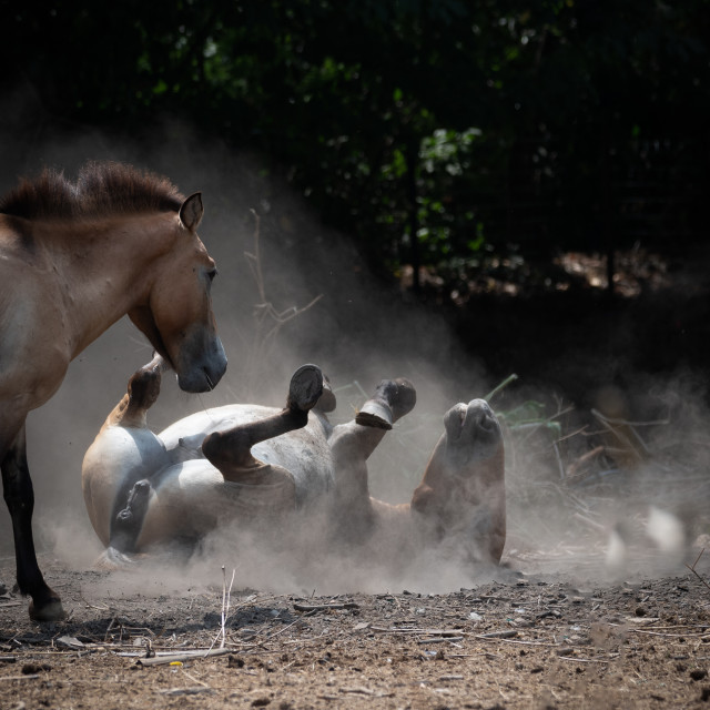 """""""Wild horse observes one of its kind that rolls on the sandy grou"""" stock image"""