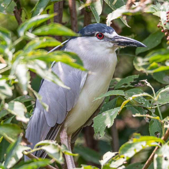 """""""Night heron laid on tree among the green leaves"""" stock image"""