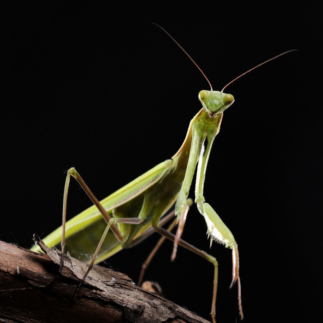 """Green mantis is a predator, hunting for small and large insects"" stock image"