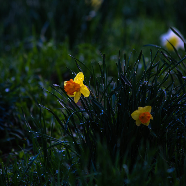 """Orange and Yellow Daffodils after a Rain Storm"" stock image"