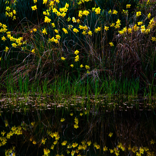 """Yellow Daffodil Reflection"" stock image"