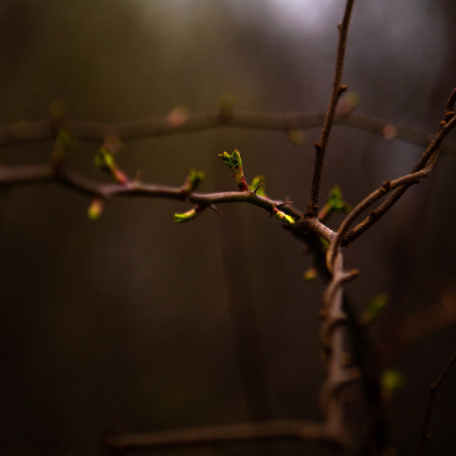 """""""Springtime Buds on a Branch Entwined by Grapevines"""" stock image"""
