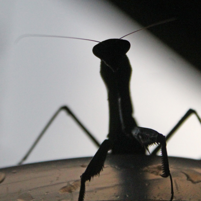 """praying mantis in shadow"" stock image"