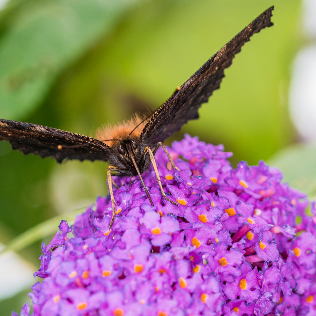 """""""Butterfy on a Buddleia"""" stock image"""