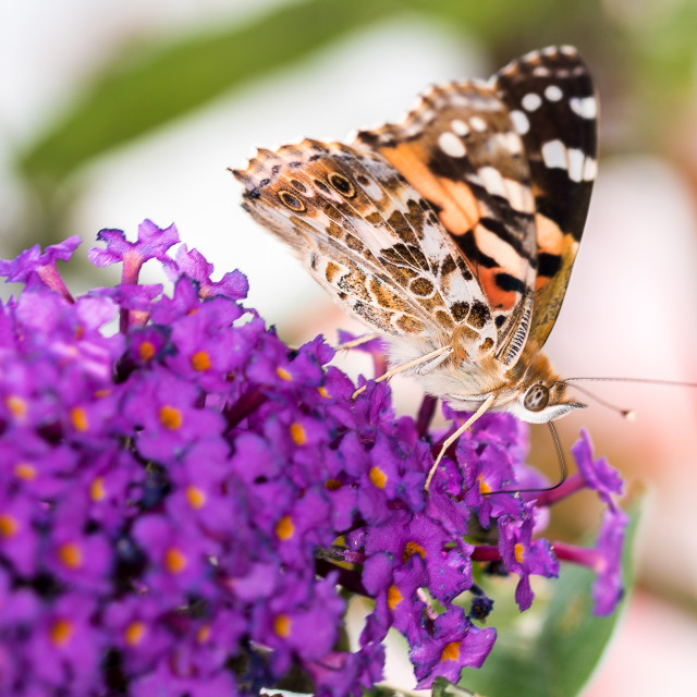 """""""Painted Lady Butterfly on a Buddleia"""" stock image"""