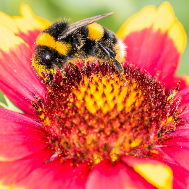 """""""Macro pic of a bumble bee"""" stock image"""