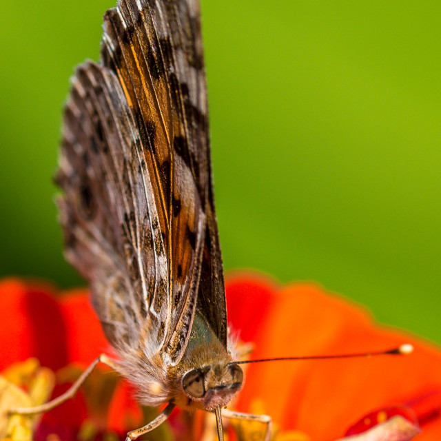 """""""Macro shot of a Painted Lady Butterfly"""" stock image"""