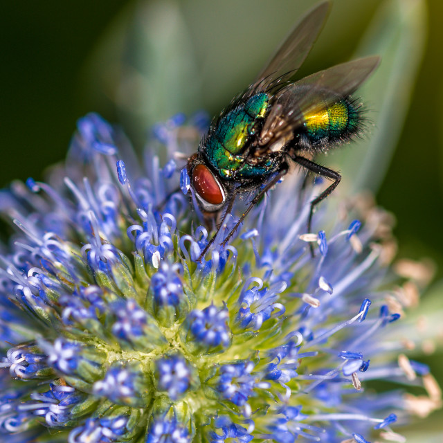 """""""Fly on a Eryngium flower"""" stock image"""