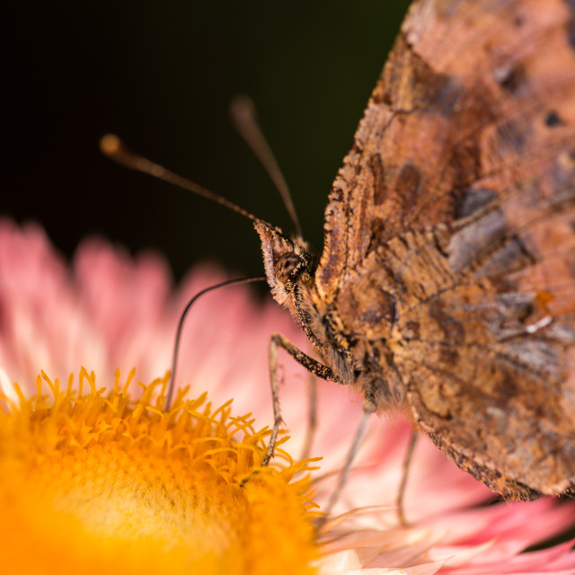 """""""Macro picture of a Butterfly"""" stock image"""