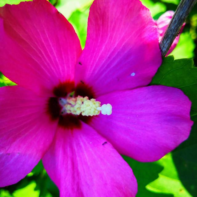 """Purple Hibiscus"" stock image"