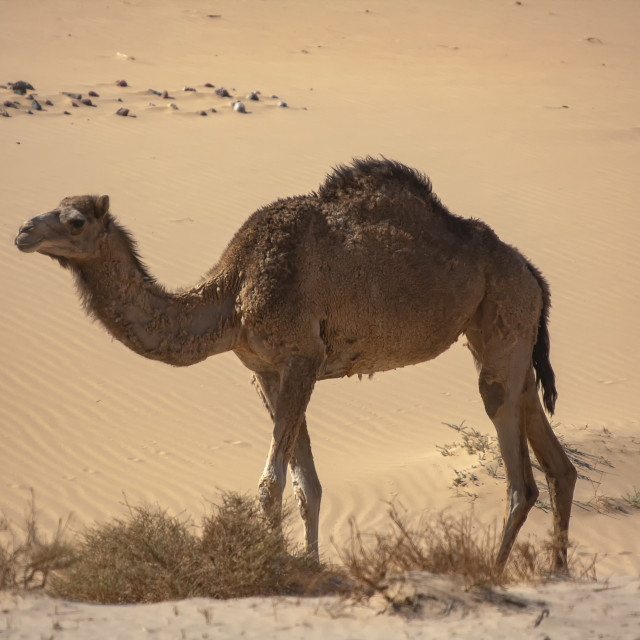 """A one hump Dromedary camel (camelus dromedarius) in the Sinai desert, Egypt"" stock image"