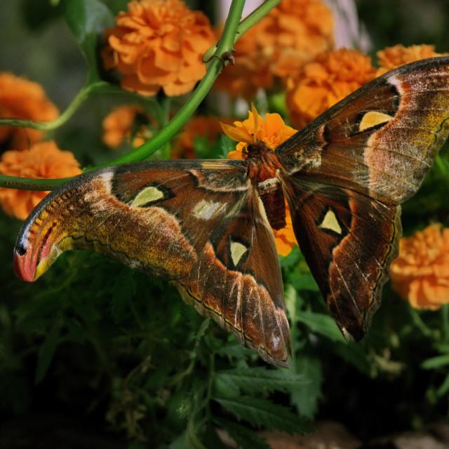 """Atlas moth"" stock image"