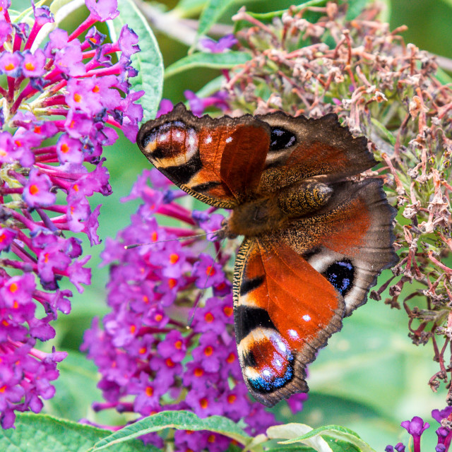 """""""Peacock Butterfly on a Buddleia"""" stock image"""